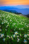 Avalanche lilies along Hurricane Ridge in Washington state's Olympic National Park
