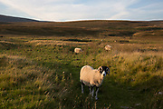 Sheep in the landscape at Ribblehead, Yorkshire, England, UK. Ribblehead is the area of moorland at the head of the River Ribble in the area known as Ribblesdale, in the Yorkshire Dales National Park, England.