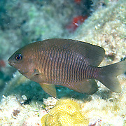 Dusky Damselfish inhabit shallow surgy reef and areas of rocky rubble in Tropical West Atlantic; picture taken Key Largo, FL.