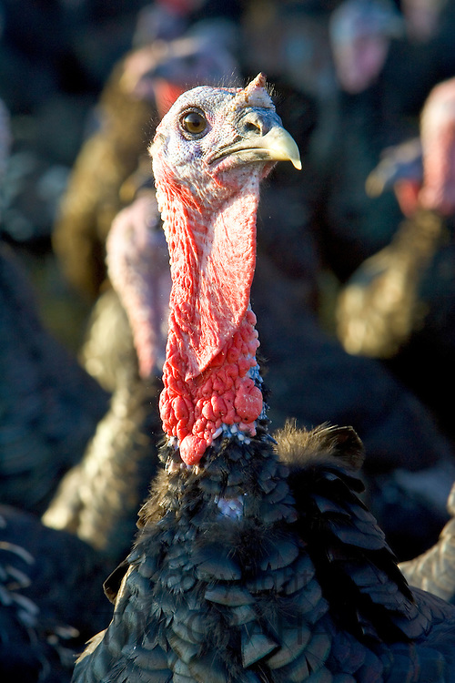 Free-range Norfolk bronze turkey at Sheepdrove Organic Farm, Lambourn, England