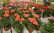 Potted geraniums on display in plant nursery