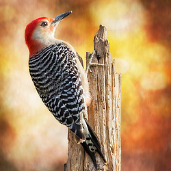 A Red-Bellied Woodpecker Posted In Morning Warm Light