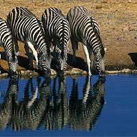 Reflection of five zebra drinking at the Okaukuejo Water Hole in Etosha National Park Namibia.