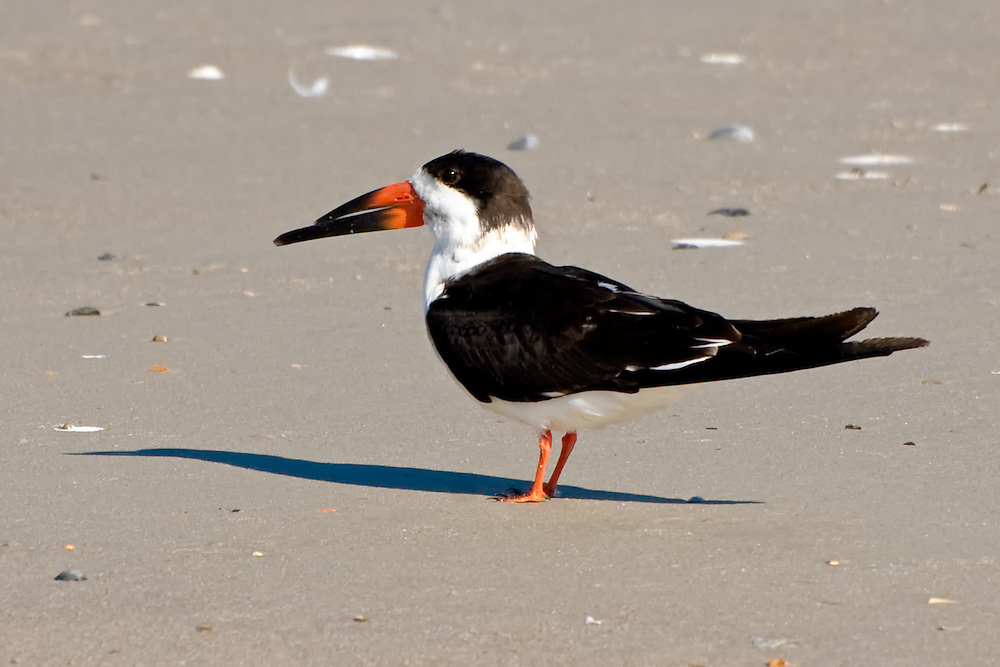 The improbable-looking black skimmer  - the unique bill is used for catching its food while skimming the water's surface with an open beak - in flight!