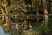 Great egrets line a tidal pond inside Bulls Island in the Cape Romain National Wildlife Refuge near Charleston, South Carolina. The 66,287 acre National Wildlife Refuge encompass water impoundments, creeks, bays, emergent salt marsh and barrier islands most of which is only accessible by boat.