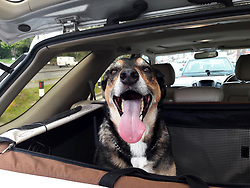 The look of excitement from the door watching dog when you open the back door of the car and he thinks the 3:00pm trip to the vet is the usual 3:00pm pick-up from work trip!<br /> <br /> 02 May 2017 <br />  Copyright Paul David Drabble<br />  www.pauldaviddrabble.co.uk