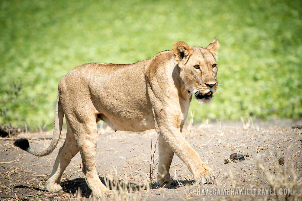A female lion on the prowl during the day at Tarangire National Park in northern Tanzania not far from Ngorongoro Crater and the Serengeti.