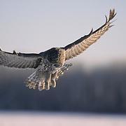Great Gray Owl (Strix nebulosa) adult hunting. Manitoba, Canada