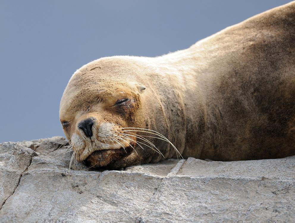 A South American Sea Lion (Otaria flavescens) sleeps on a rocky island in the Beagle Channel. Ushuaia, Argentina. 13Feb16