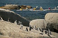 Kalk Bay/Simonstown Generic Photos, Cape Town South Africa African penguin on the sandy beach. African penguin. Cape Town. South Africa