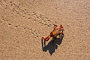 Sally Lightfoot Crab (Grapsus grapsus)<br /> Rabida Island<br /> Galapagos<br /> Ecuador<br /> South America