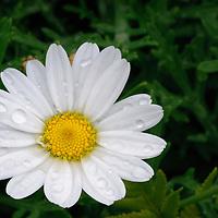 Raindrops on Flower