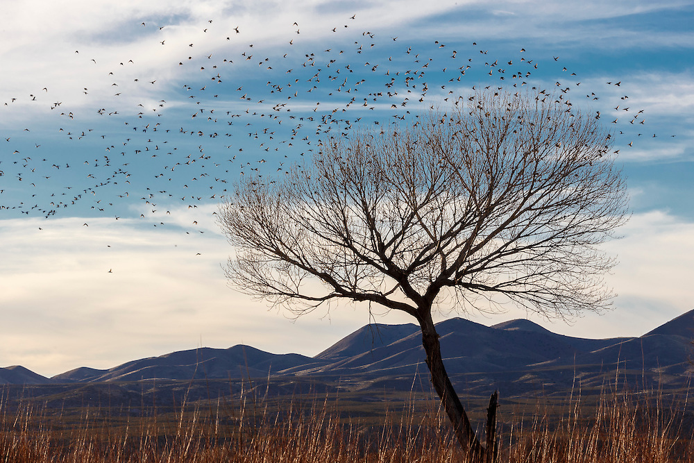 Snow geese flock flying past tree in winter with mountain backdrop, Bosque del Apache, National Wildlife Refuge, New Mexico, USA.