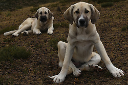 July 8, 2017 - Vizmanos, Soria, Spain - Two Spanish Mastiffs dogs in the 'Oncala' mountain (1,454 metres), near of the small village de Los Campos, north of Spain. (Credit Image: © Jorge Sanz/Pacific Press via ZUMA Wire)