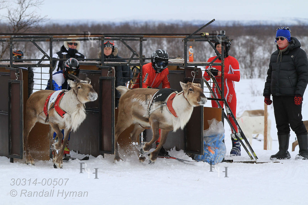 Reindeer racing, with a skier tethered behind a buck sprinting down a straight track, is one of the highlights of the Sami Easter Festival in Kautokeino, Finnmark, Norway.