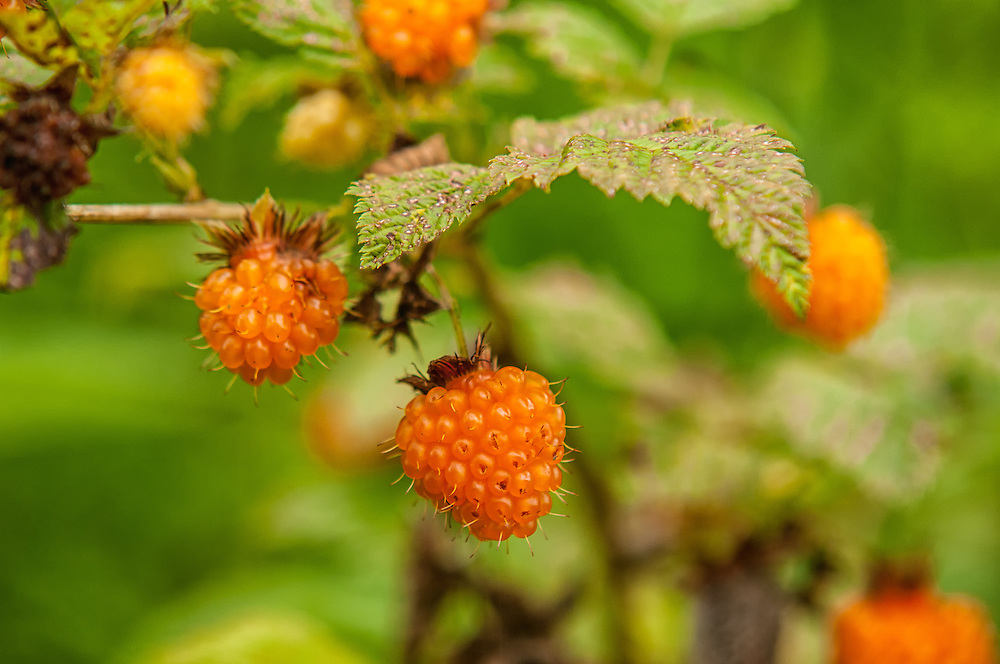 Golden salmonberries ripe for the picking. These sometimes delicious, sometimes mushy fruits provide food for many animals across the PNW from sea level to nearly the subalpine regions of the Cascades and Olympic Mountains.