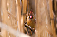 The Northern Cardinal Cardinalis cardinalis, is found from southern Canada through the eastern United States from Maine to Texas and south through Mexico to northern Guatemala and Belize. It is found in woodlands, gardens, shrublands, and swamps. Pictured here is the female.-----