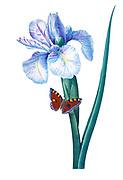 19th-century hand painted Engraving illustration of a Spanish iris (Iris xiphium) flower, by Pierre-Joseph Redoute. Published in Choix Des Plus Belles Fleurs, Paris (1827). by Redout?, Pierre Joseph, 1759-1840.; Chapuis, Jean Baptiste.; Ernest Panckoucke.; Langois, Dr.; Bessin, R.; Victor, fl. ca. 1820-1850.