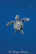 olive ridley sea turtle hatchling, Lepidochelys olivacea, swimming to the surface for a breath, Costa Rica, Central America ( Eastern Pacific Ocean )