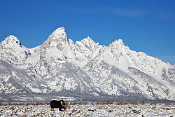 """A Bull Moose grazes on bitter brush beneth the Grand Tetons in Grand Teton National Park<br /> <br /> For production prints or stock photos click the Purchase Print/License Photo Button in upper Right; for Fine Art """"Custom Prints"""" contact Daryl - 208-709-3250 or dh@greater-yellowstone.com"""