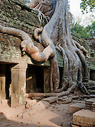 Thick tree roots grow over the ruins of Ta Prohm temple at Angkor, Siem Reap Province, Cambodia