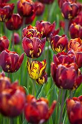 Tulipa 'Aleppensis'. (Rembrandt tulip). Showing tulip virus breaking causing streaking