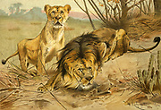 Lion and Lioness in the wild. Frontispiece from the book ' Royal Natural History ' Volume 1 Edited by  Richard Lydekker, Published in London by Frederick Warne & Co in 1893-1894