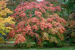 Acer palmatum'Osakazuki' AGM - Japanese maple