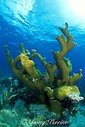 elkhorn coral, Acropora palmata, Biscayne National Park, Florida ( Western Atlantic Ocean )