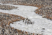 King Penguins (Aptenodytes patagonicus) on the edge of the melt water river, St Andrews Bay, South Georgia Island, South Atlantic Ocean
