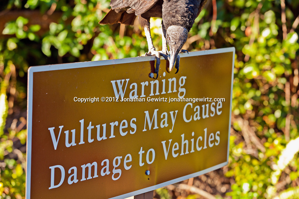 """A Black Vulture (Coragyps atratus) perched on a """"Vultures May Cause Damage to Vehicles"""" road sign in Everglades National Park, Florida. WATERMARKS WILL NOT APPEAR ON PRINTS OR LICENSED IMAGES."""