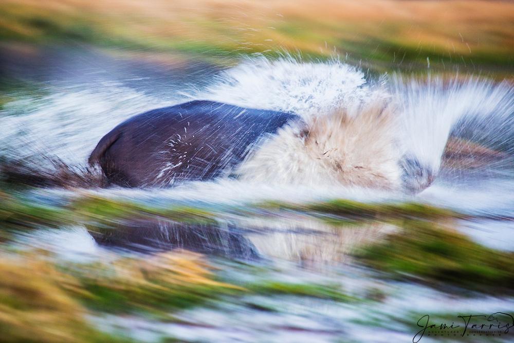 A motion-blur of a hippopotamus bull (Hippopotamus amphibious) aggressively running into the water, Khwai River, Botswana