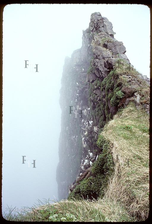 Shrouded in fog, Hornbjarg is nesting site for 1000s of seabirds such as these murres on ledges. Iceland