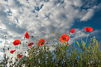 Common poppy, Papaver rhoeas, Queyras, France, Europe