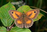 Close-up of a male Gatekeeper butterfly (Pyronia tithonus) resting with open wings on bramble in a Norfolk woodland habitat in summer