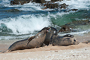Hawaiian monk seals, Monachus schauinslandi, Critically Endangered endemic species, a 7-year-old male (RI11), on the left, challenges a 5 year old male (R036), at right, at beach on west end of Molokai, Hawaii; a female (R318) passes by in background;