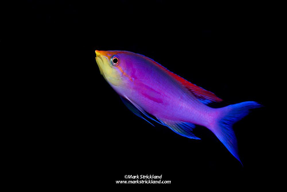 Purple Anthias, Pseudanthias tuka, Visayan Sea, Philippines, Pacific Ocean