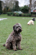 Alfie the Cockerpoo (cocker spaniel poodle cross) playing in a park in London