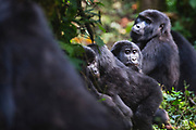 A group of mountain gorillas ((Gorilla beringei beringei) sitting together on the forest floor,,Bwindi Impenetrable Forest, Uganda, Africa
