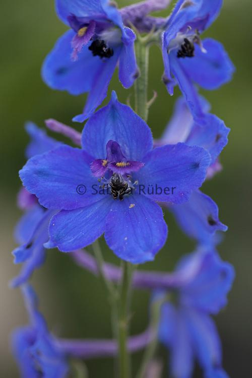 Delphinium x belladonna 'Oriental Blue'