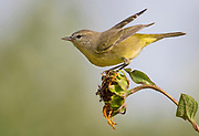 Female orange-crowned warbler prepares to fly from a sunflower in a field near Albuquerque, New Mexico