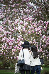 © Licensed to London News Pictures. 21/03/2017. London, UK. Visitors look at one of the many varieties of magnolia at the Royal Botanic Gardens Kew in afternoon sunshine.  Photo credit: Peter Macdiarmid/LNP