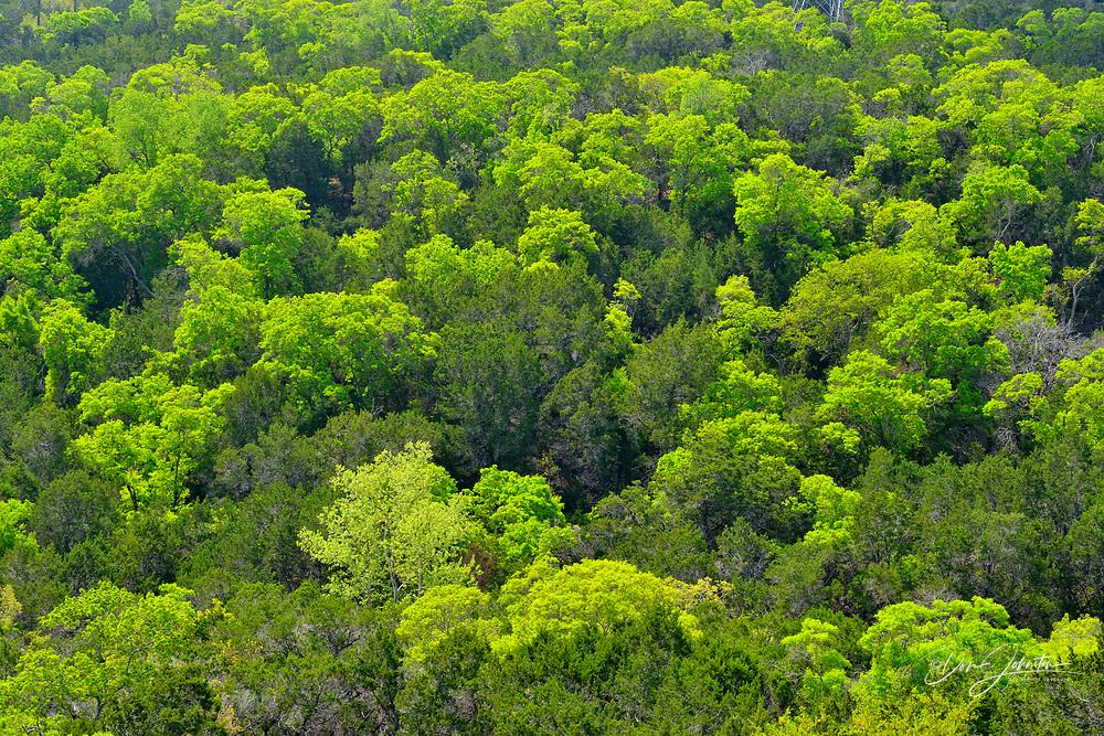 Spring foliage on a hillside of hardwood trees, Lakeway, Travis County, Texas, USA