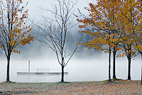 Morning mist rises on Alta Lake, maple trees in foreground in Whistler, BC Canada