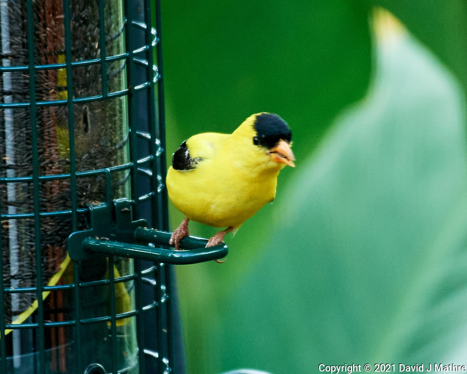 American Goldfinch. Image taken with a Nikon D5 camera and 200-500 mm f/5.6 VR lens.