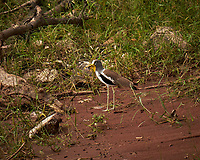 White-headed Lapwing. Chobe river, Botswana. Image taken with a Fuji X-T1 camera and 55-200 mm lens.