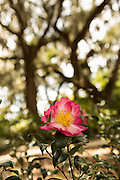 A camellia blooms among live oak trees with spanish moss at Honey Horn Plantation on Hilton Head Island, SC