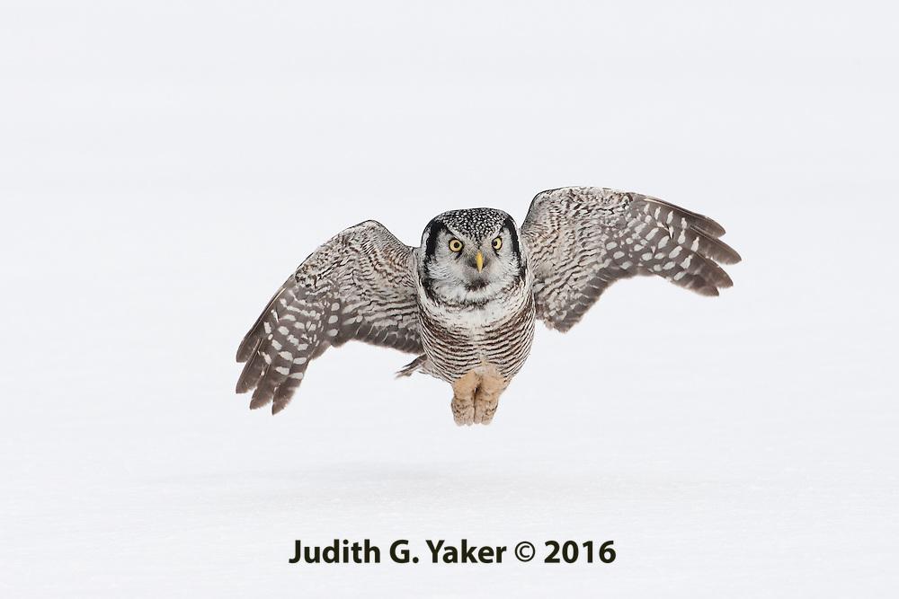 Hawk Owl<br /> Quebec Canada<br /> February 2010
