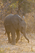African Elephant <br /> Loxodonta africana <br /> Young calf<br /> Sabi Sands, South Africa