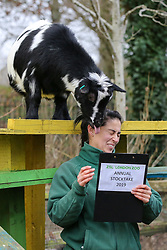 © Licensed to London News Pictures. 03/01/2019. London, UK. A London Zoo keeper with Pygmy Goat during the annual stocktake at London Zoo. London Zoo undertakes its annual stocktaking which is carried out at the the start of each year. Every animal in London Zoo is weighed and measured and the statistics is shared with other Zoos across the world.  Photo credit: Dinendra Haria/LNP
